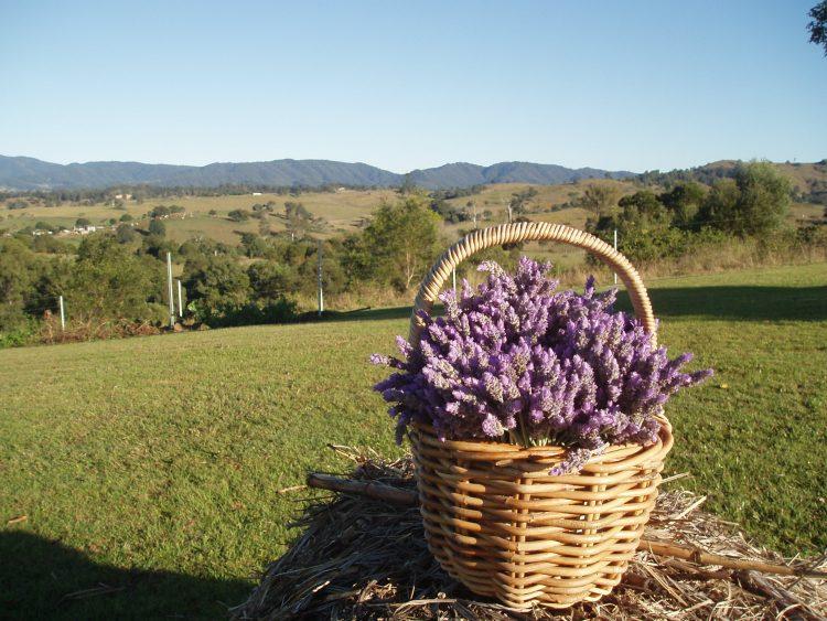lavender dayboro